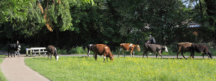 Common Lane Farm cattle grazing their summer pasture on Coe Fen Cambridge